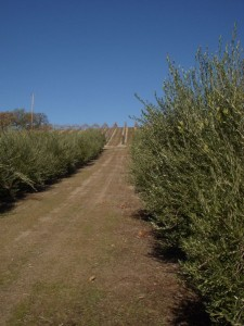 Avenue of olive trees