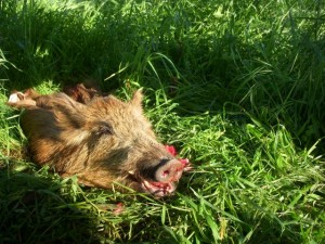This boar will forage (local farmers might prefer the term rampage) no more.