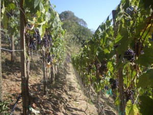 Vines on the edge, at the Pizulli estate